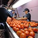 Fresh Tomato and Pepper repacker for grocers, farmer's markets